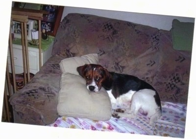 Bam the Beaglier laying on a couch with his head on a pillow
