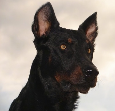 Close up - Haunter the Beaucerons face