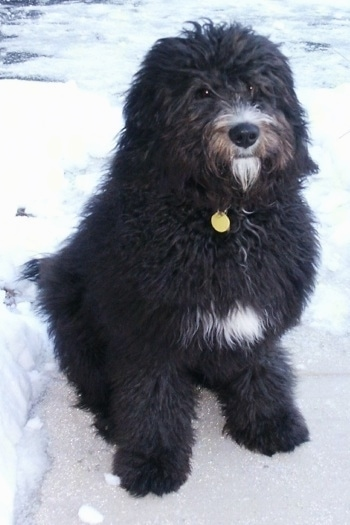 The front right side of a black with white Bernedoodle that is sitting on ice with a frozen body of water behind it.