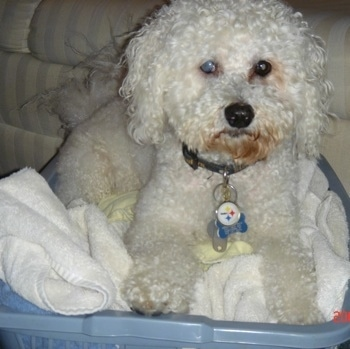 Bichon Frise Dog Breed Information And Pictures