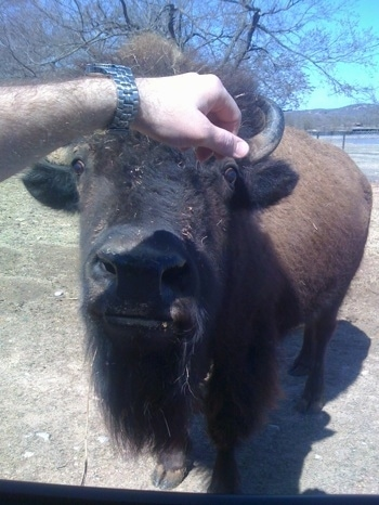 Bison at Arbuckle Wilderness being pet by a person wearing a watch
