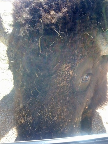 Close Up - Bison with grass and dirt on its face