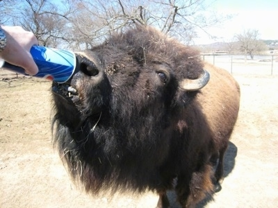 Close Up - Bison drinking out of a disposable pepsi cup