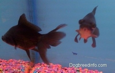 Two Black Moor Goldfish are swimming next to each other. One has its mouth in a circle