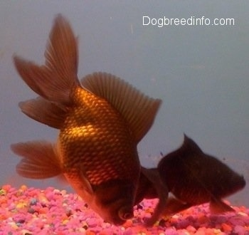 Two Black Moor Goldfish. One is eating the pink rocks at the bottom. The other one is Swimming the bottom of the tank