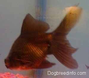 Close Up - A Black Moor Goldfish is swimming towards the rocks at the bottom of the tank