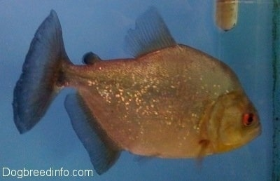 Close Up - A silver redeye piranha is swimming