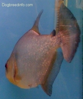 A redeye piranha is swimming next to a heater towards the back glass pane