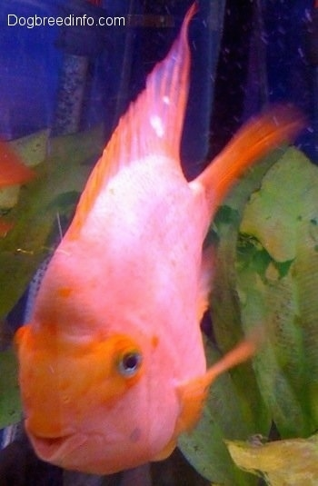 A large orange adult smiling blood parrot fish is swimming near a green plant