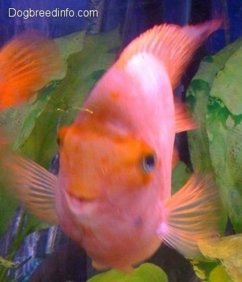 Red parrot fish for sale for Blood parrot fish