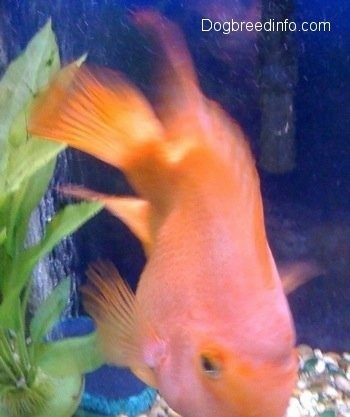 Blood Parrot Fresh Water Fish Information And Pictures