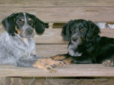 Two Blue Spaniel Puppies laying face to face on a wooden bench