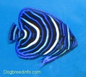 Close Up - a blue, white and black striped Blueface Angelfish