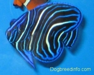 A blue, white and black striped Blueface Angelfish is swiming under an orange,white and black clownfish