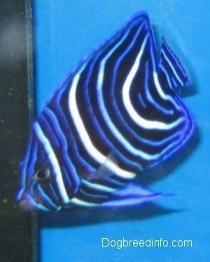 Close Up - A blue, white and black striped Blueface Angelfish is swimming to the corner of a fish tank