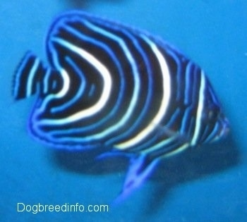 Close Up - a blue, white and black striped Blueface Angelfish is swimming to the right