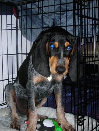 Arie Luyendyk, the Bluetick Coonhound