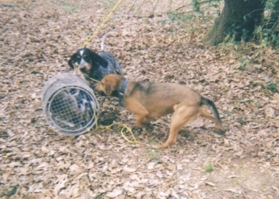 A Bluetick Coonhound and a Cur mix are running at a roll cage. They are standing in grass covered in leaves