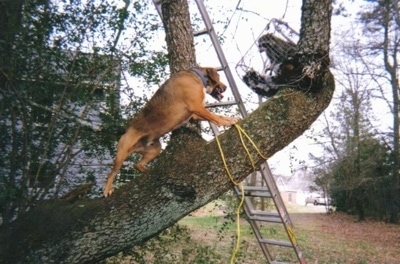 A Cur mix is climbing up a tree branch to get a roll cage that has a raccoon in it.