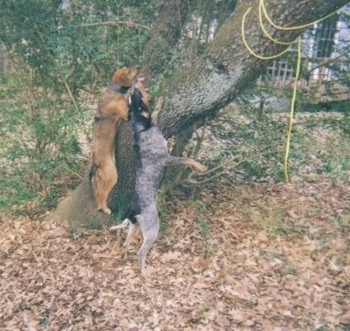 A Bluetick Coonhound and a Cur mix are jumping and barking up a tree