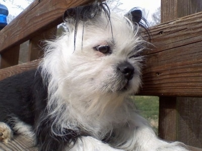 Close Up - Bailey the BoShih sitting up on a wooden bench looking down