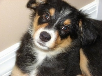 ... hybrid (Border Collie / Australian Shepherd mix) puppy at 3 months old