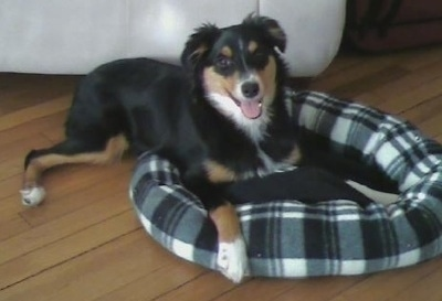 Sheela the Border-Aussie Puppy laying in a dog bed with its mouth open