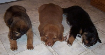 Border-Aussie Puppies laying down on a tiled floor