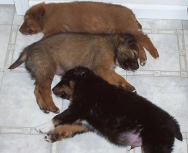 Pooh Bear, Bailey and Taz the Border-Aussie Puppies sleeping close to each other