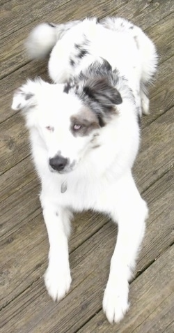 Lexi the Border-Aussie laying on a wooden porch