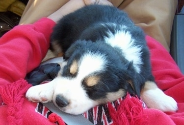 Cully the Border-Aussie puppy sleeping in the lap of a person