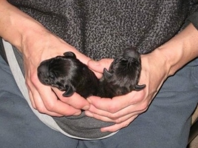 Topdown view of Two black Newborn Boweimar puppies that are being carried in a persons shirt.