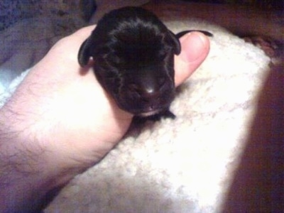A person is holding a newborn black Boweimar puppy in there hand.