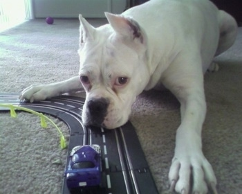 Vera the Boxer laying on carpet in the house with its head on a toy car race track