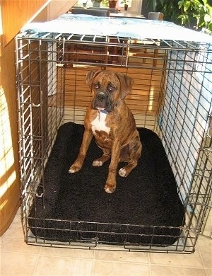 Bruno the Boxer puppy sitting in a bigger crate on a new mat