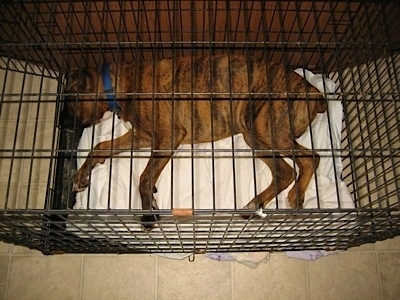 Bruno the Boxer puppy laying in a crate that is too small