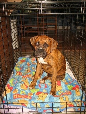 Bruno the Boxer puppy sitting in a bigger crate
