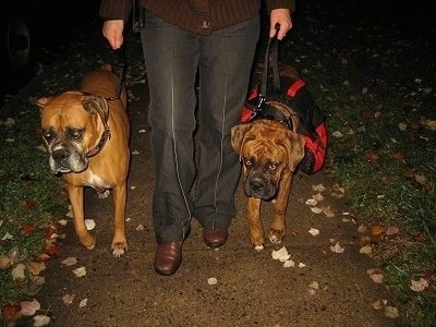 Allie and Bruno the Boxers on a walk with their owner