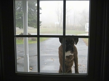 Bruno the Boxer puppy outside on a foggy day jumping up to look in a window