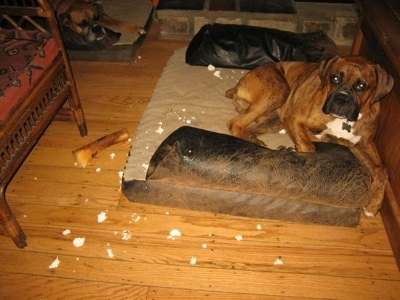 Bruno the Boxer Puppy laying in a dog bed with styrofoam scattered around him