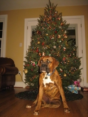 Bruno the Boxer sitting in front of a Christmas tree