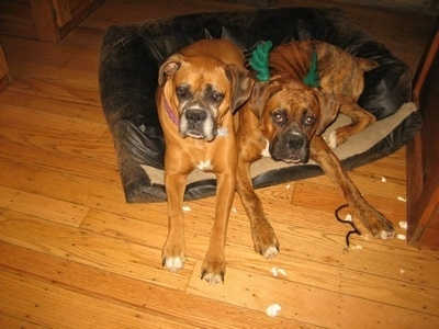 Allie and Bruno the Boxer laying in the same dog bed, Bruno has green Christmas antlers on