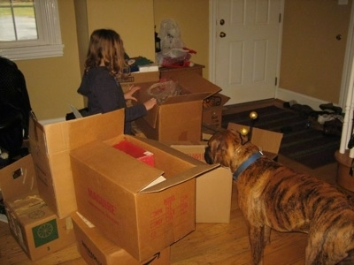 Bruno the Boxer puppy looking at all the boxes in the house as Sara unpacks them