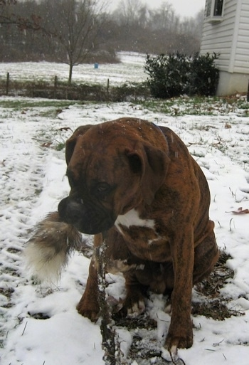 Bruno the Boxer puppy sitting outside in the snow with a Fox Tail/Spine in his mouth