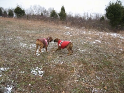 Allie and Bruno the Boxers playing in jackets outside in a field