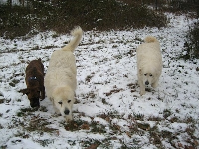 Bruno the Boxer with Tacoma and Tundra the Great pyrenees walking outside in the snow