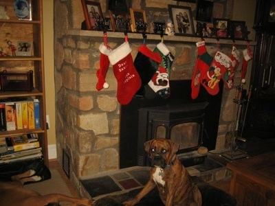 Bruno the Boxer puppies sitting under Christmas stockings which are hanging over a fireplace