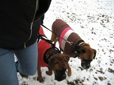 Allie and Bruno the Boxer with coats on walking with there owner in the snow