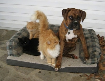 Bruno the Boxer Puppy sitting in the outside dog bed with three cats next to him