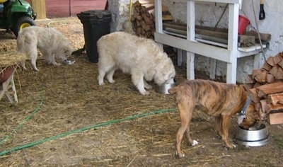 Bruno the Boxer with Tacoma and Tundra the Great Pyrenees eating under the barn